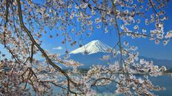 SakuraWithFuji_JA-JP5514157905_1366x768