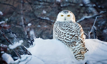 owl corey hardcastle photography_edited.