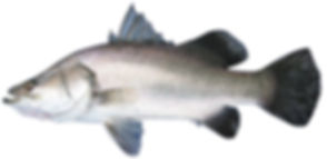 Barramundi-Lates-calcarifer.jpg