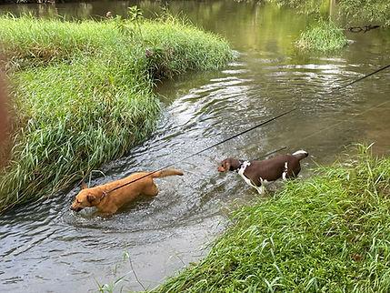 Dogs in the creek 2.jpg