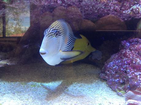 Sohol Tang in 180 gallon reef,