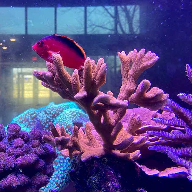 Flame Hawk Perched on Live Coral.jpg