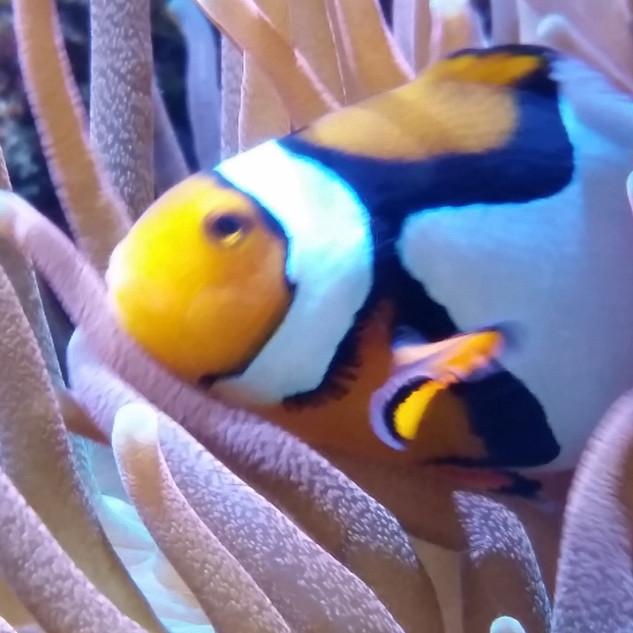 Clownfish_in_anemone.jpg
