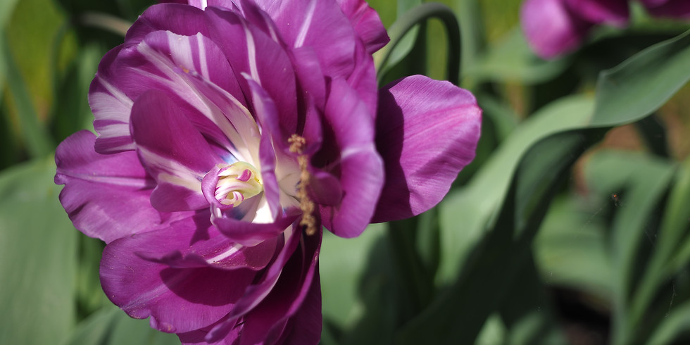 Special Focus Tour: Garden Walk History Tour with Tulips