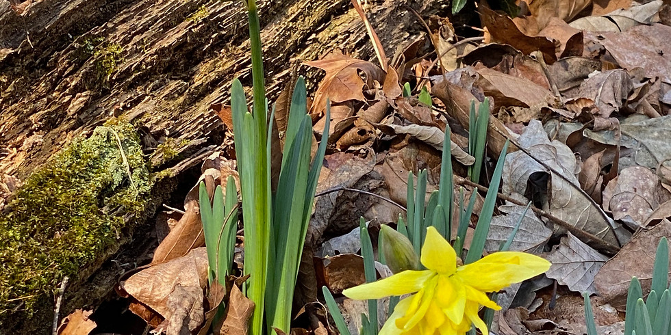 Special Focus Tour: Garden Walk History Tour with Daffodils