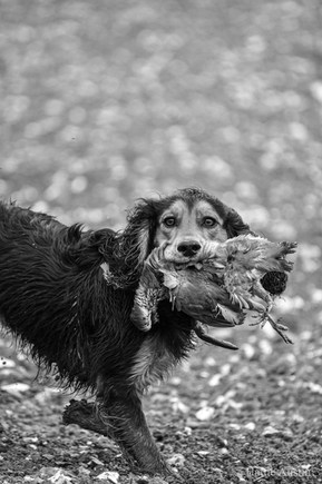 One very proud spaniel at Yattendon Estate Shoot, October 2020