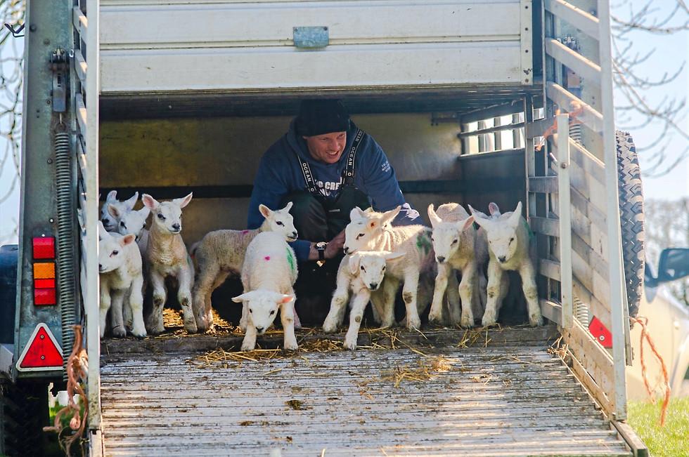 Oak Tree Farm lambing seaon. Jack Bull encouraging his Texal lambs into the field.