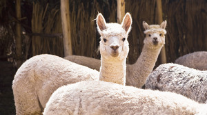 ALPACA WOOLLIES - The Softer Alternative