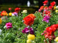 HVG Rose Spectacular