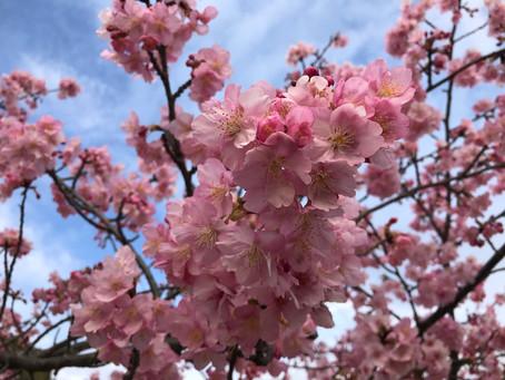 河津桜満開です