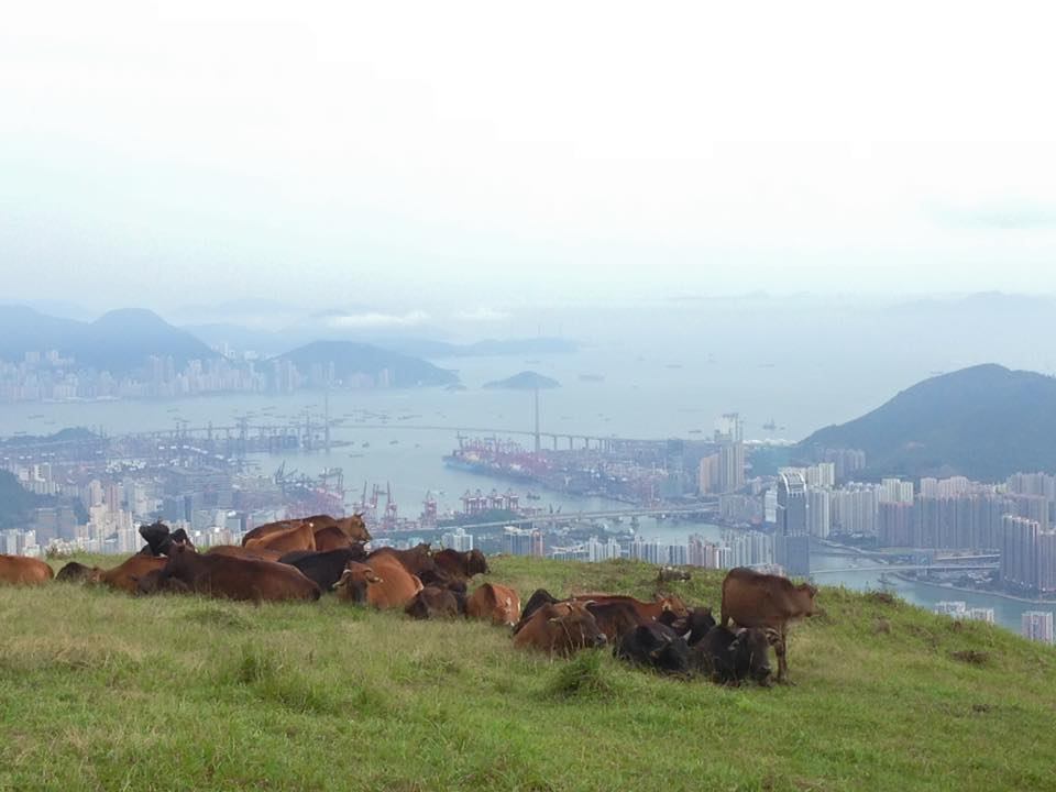 Cows on Taimoshan