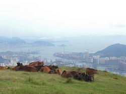Cows on Taimoshan