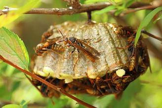 アシナガバチの駆除なら尼崎のおたすけマックス