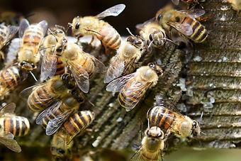 ミツバチの駆除なら尼崎のおたすけマックス