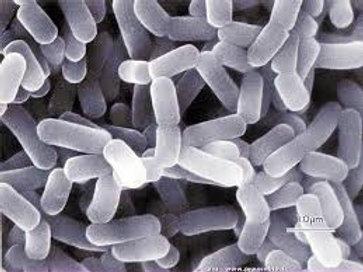 L-Gasseri dosé à 50 Milliards de souches par gramme