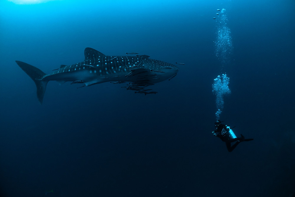 Mergulho Koh Tao Tubarão baleia