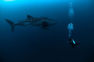 Whale Shark at Koh Tao