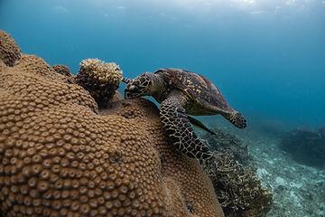 Marine Turtle Koh Tao