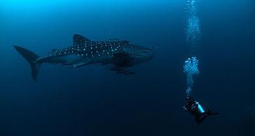 Whale Shark Koh Tao