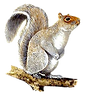 grey-squirrel_rspb_edited_edited.png