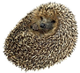 hedgehog_edited.png