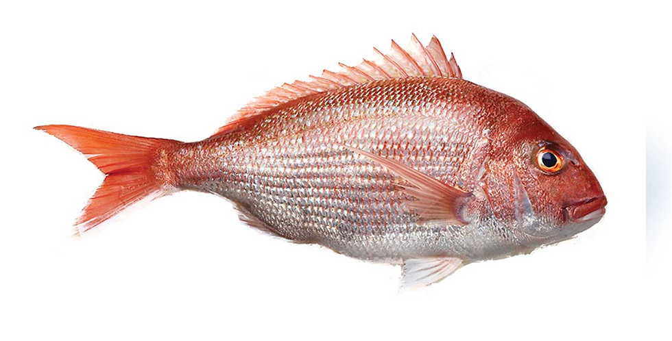 Madai Red Snapper (by weight lb.)