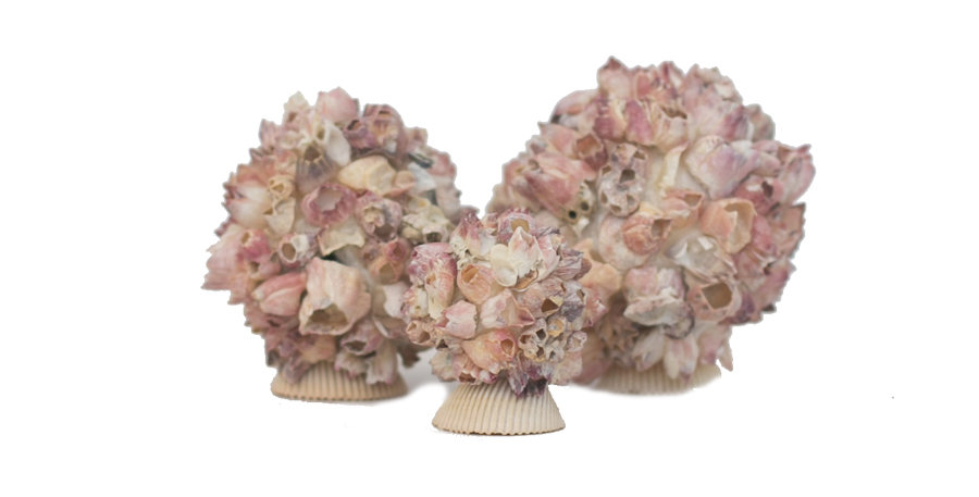 Pastel Pink Shell Cluster