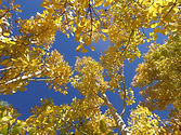 Autumn colours, Aspen USA