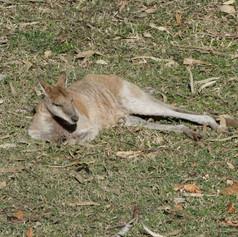 Fitzroy Crossing Kangaroo