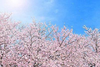 cherry-blossom_00009.jpg