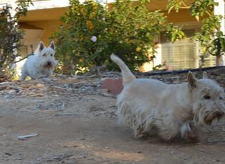 Scottish Terriers Also Live @ Camlon Farm