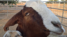 Peanut Eating Boer Goats Found @ Camlon Farm
