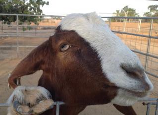 Peanut Eating Boer Goats Found @ Camlon Farm