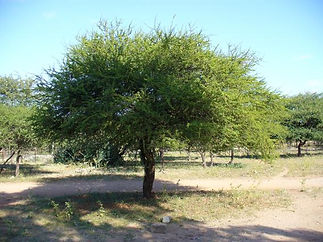 sicklebush tree.jpg