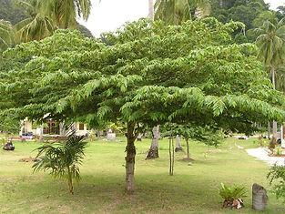 Jamaican Cherry Tree.jpg