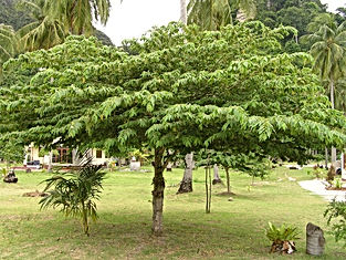 Jamaican Cherry Tree.jpg