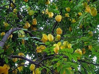 Arkin Starfruit Tree.jpg