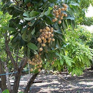 Longan-Tree.jpg