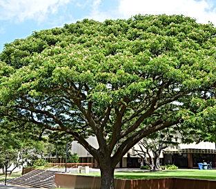 Ice Cream Bean Tree.jpg