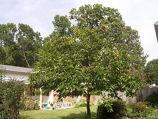 fuyu persimmon tree.jpg