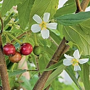 jamaican cherry.jpg
