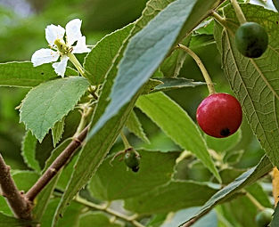 Jamaican Cherry Tree Fruit2.jpg