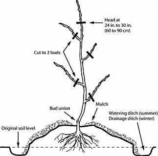 bare root diagram.jpg