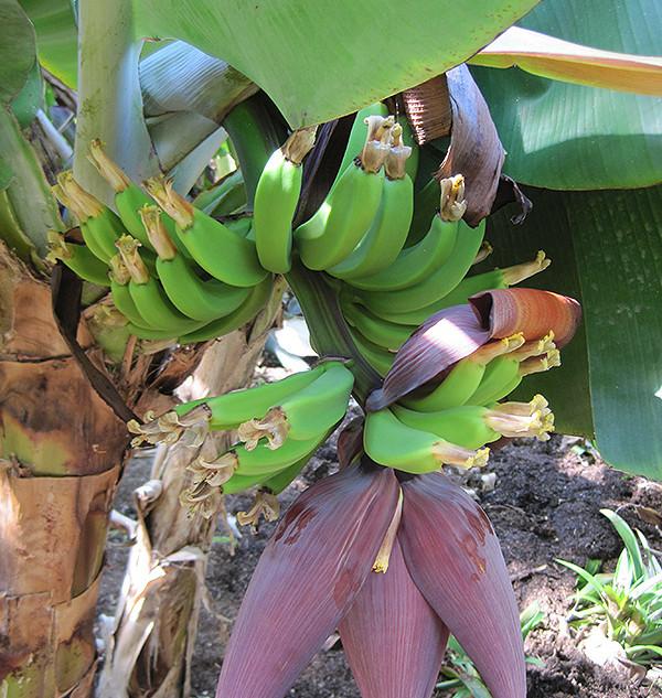 Banana - Enano Gigante ~ Musa Acuminata