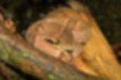 Bothrops jararaca – Foto: Ivan Sazima