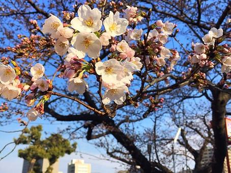 岡崎でお花見