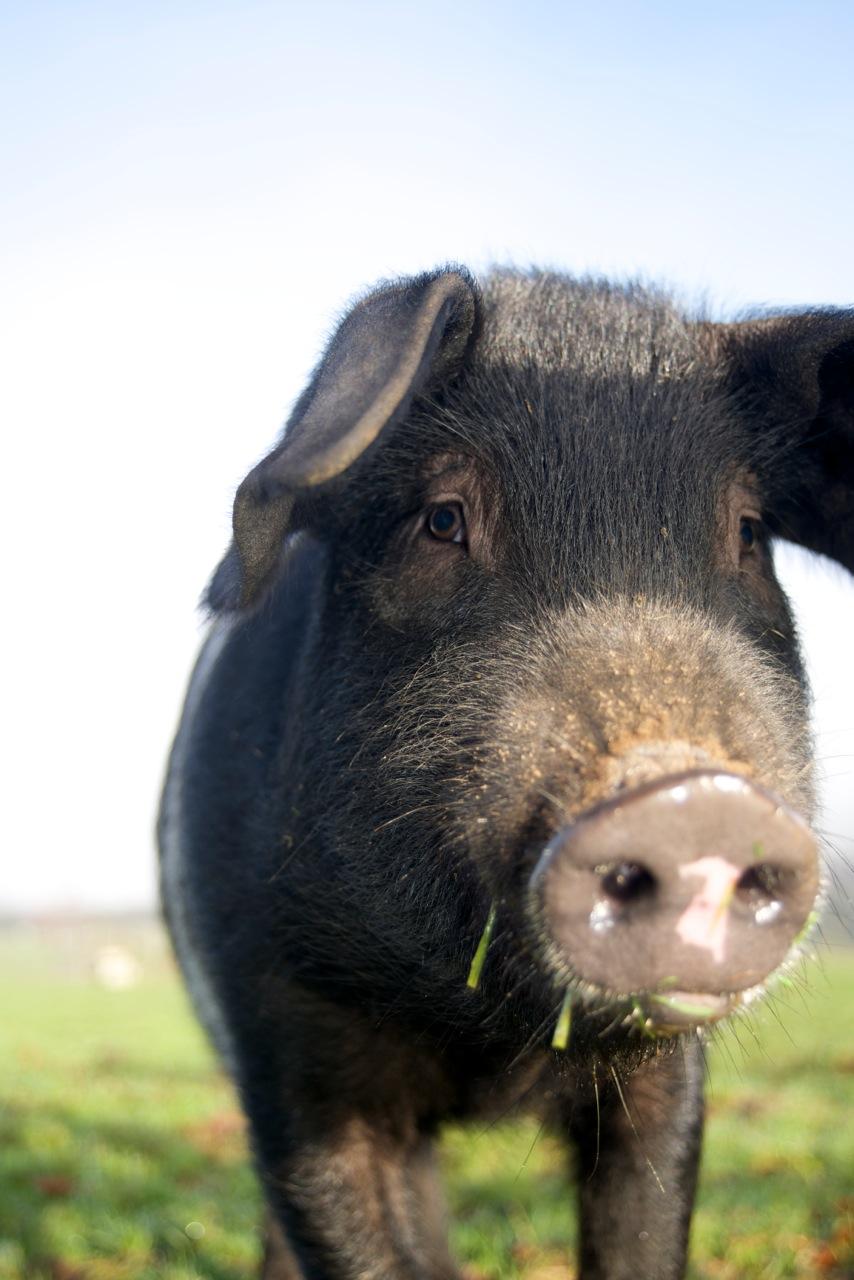 Little Pig Jan 14
