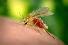 Attention Leishmaniose: les moustiques sont aussi dangereux pour nos chiens!
