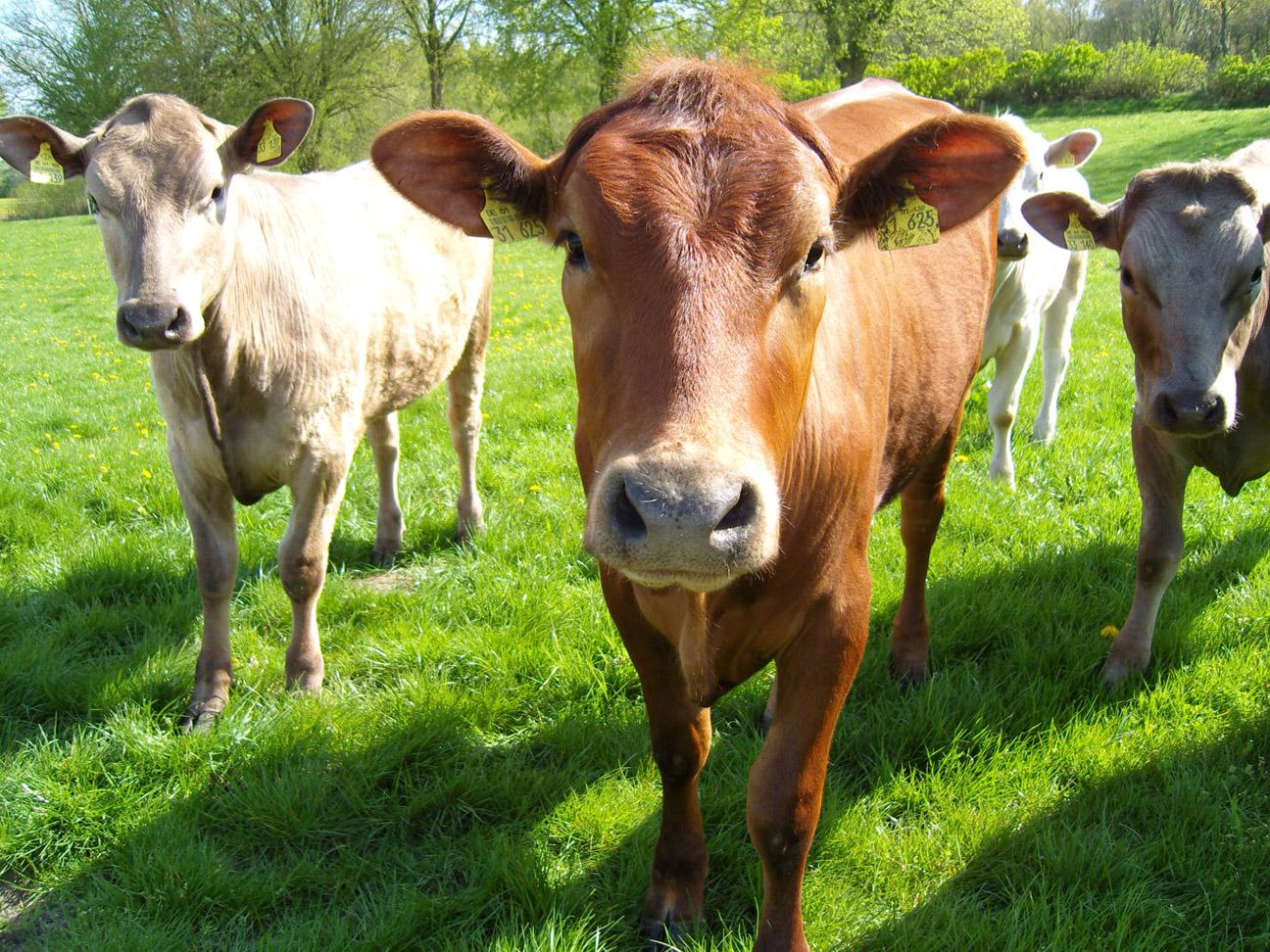 Bünsdorf Cows