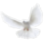White_Dove_2Transparent_PNG_Clipart.png